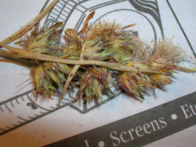 APII jpeg image of Cenchrus echinatus  © contact APII