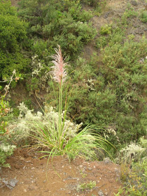APII jpeg image of Cortaderia jubata  © contact APII