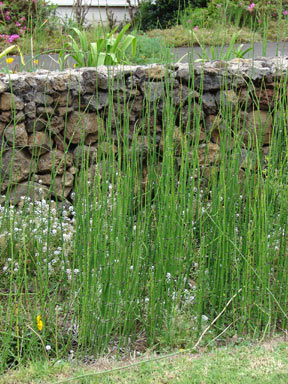 APII jpeg image of Equisetum hyemale  © contact APII