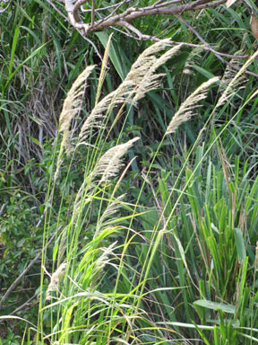 APII jpeg image of Digitaria insularis  © contact APII