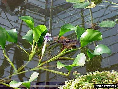 APII jpeg image of Eichhornia azurea  © contact APII