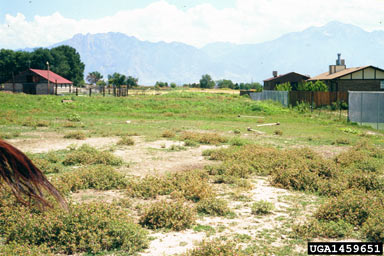 APII jpeg image of Centaurea calcitrapa  © contact APII