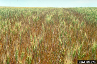 APII jpeg image of Aegilops cylindrica  © contact APII