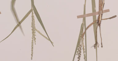 APII jpeg image of Urochloa glumaris  © contact APII