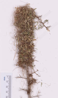 APII jpeg image of Cuscuta planiflora  © contact APII