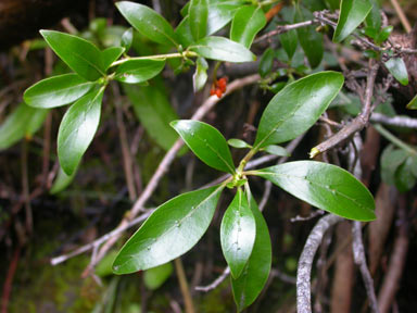 APII jpeg image of Coprosma robusta  © contact APII