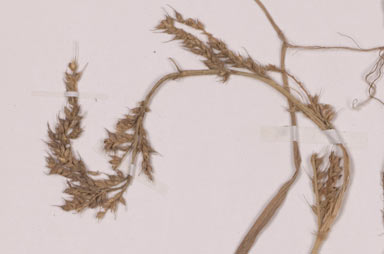 APII jpeg image of Echinochloa stagnina  © contact APII