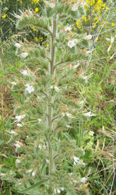 APII jpeg image of Echium italicum  © contact APII