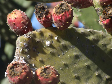 APII jpeg image of Opuntia tomentosa  © contact APII