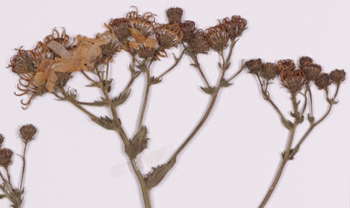 APII jpeg image of Senecio glastifolius  © contact APII