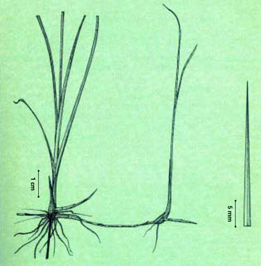 APII jpeg image of Cyperus teneristolon  © contact APII