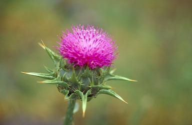 APII jpeg image of Silybum marianum  © contact APII