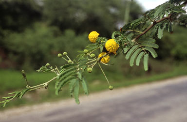 APII jpeg image of Vachellia nilotica  © contact APII