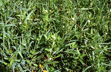 APII jpeg image of Alternanthera philoxeroides  © contact APII