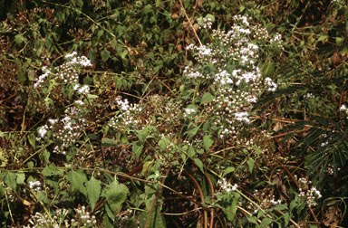 APII jpeg image of Chromolaena odorata  © contact APII