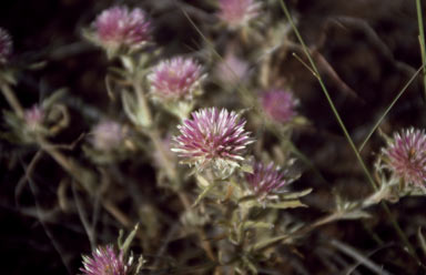 APII jpeg image of Gomphrena canescens subsp. canescens  © contact APII