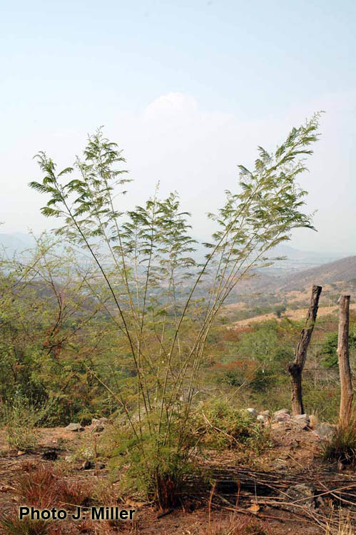 Factsheet angustissima for Anales del jardin botanico