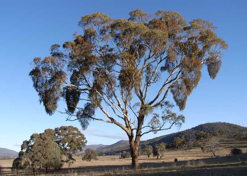 Eucalyptus meliodora - Mistletoes