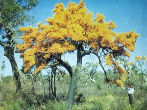 Nuytsia floribunda, click to enlarge