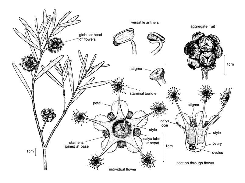 myrtaceae illustrations