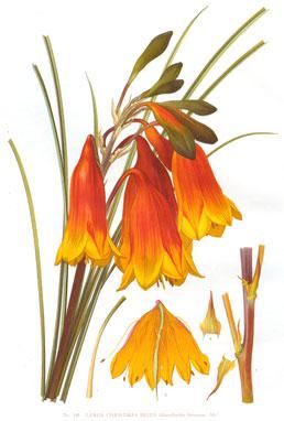 Botanical Art Australian Plant Information