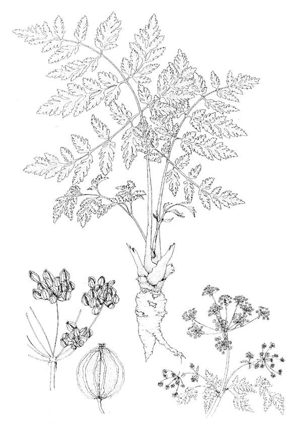 Hemlock Poison