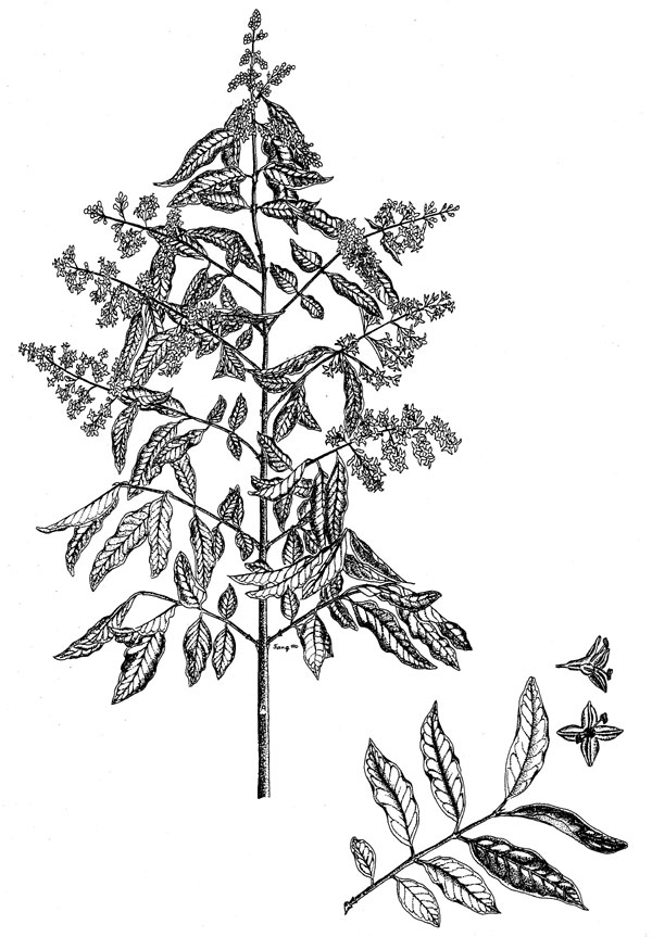 Poison plant illustrations australian plant information high resolution pdf a4 page for printing publicscrutiny Choice Image