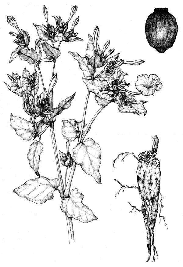 poison plant illustrations australian plant information