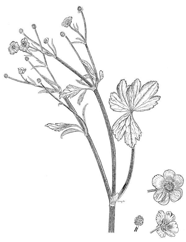 Poison Plant Illustrations - Australian Plant Information