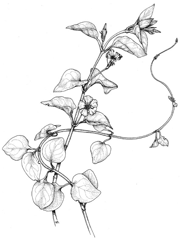 poison plant illustrations
