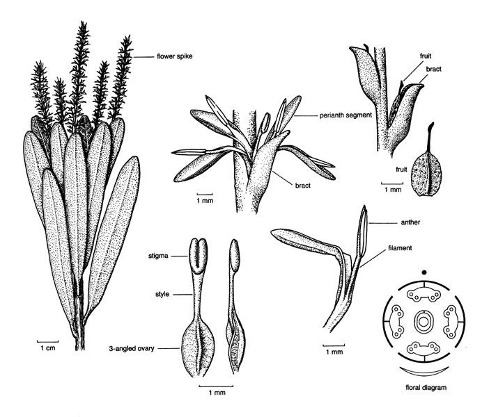 proteaceae illustrations