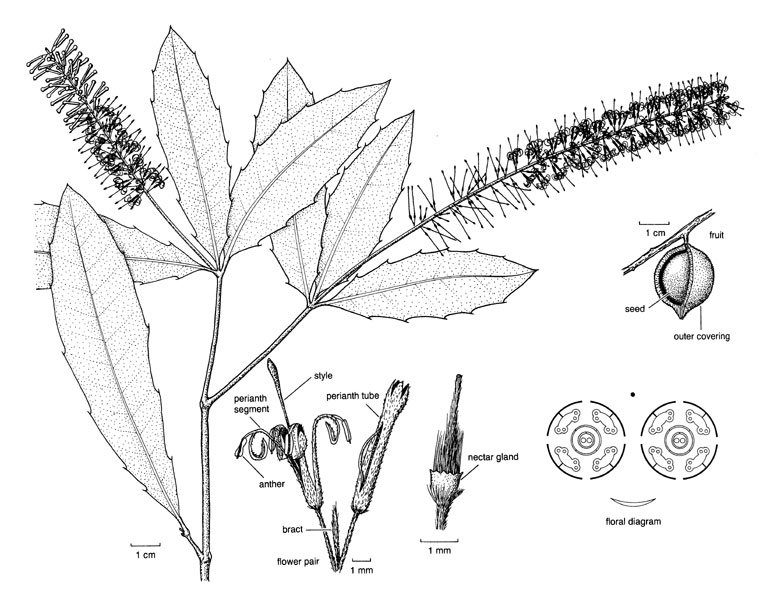 proteaceae illustrations