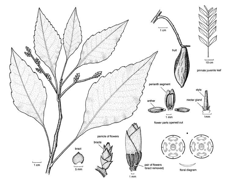 proteaceae illustrations australian plant information Red Fern Plant neorites kevediana